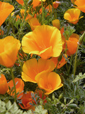 Poppies (Eschscholzia Californica) Photo by Tony Craddock