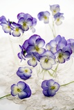 Pansies (Viola Sp.) Photographic Print by Erika Craddock