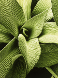 False Colour SEM of Moss Leaves; Green. Photographic Print by Dr. Jeremy Burgess