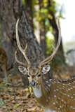 Male Chital Deer Photographic Print by Tony Camacho