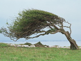 Wind-blown Tree Photographic Print by Colin Cuthbert