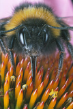 Bumble Bee on Hedgehog Cone Flower Prints by  Dr. Jeremy