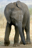 African Elephant Photographic Print by Tony Camacho
