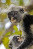 Zanzibar Red Colobus Monkeys Photographic Print by Tony Camacho