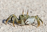 Horned Ghost Crab Photographic Print by Peter Chadwick