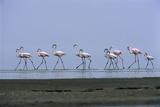 Greater Flamingos Wading Fotografisk tryk af Tony Camacho