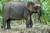 Borneo Pygmy Elephant Poster by Tony Camacho
