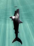Megalodon Prehistoric Shark with Human Fotografisk tryk af Christian Darkin