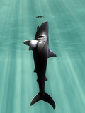 Christian Darkin - Megalodon Prehistoric Shark with Human Fotografická reprodukce