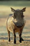 Warthog Fotografisk tryk af Tony Camacho