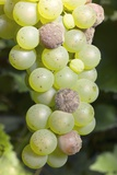 Mouldy Grapes on the Vine Photographic Print by Dr. Jeremy Burgess