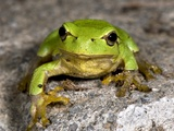 Frog Photographic Print by Paul Harcourt Davies
