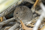 Namaqua Rock Mouse Photographic Print by Peter Chadwick