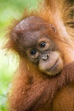 Young Sumatran Orangutan Photographic Print by Tony Camacho