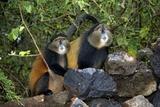 Golden Monkeys Fotografisk tryk af Tony Camacho