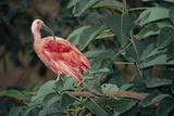 Scarlet Ibis Photographic Print by Peter Chadwick