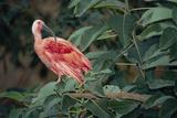 Scarlet Ibis Prints by Peter Chadwick
