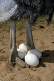 Ostrich with Eggs Photographic Print by Peter Chadwick