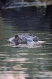 Hippopotamus In Water Fotografisk tryk af Tony Camacho