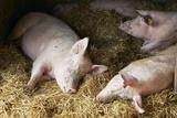 Sleeping Pigs Poster von Colin Cuthbert