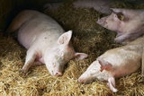Sleeping Pigs Photographic Print by Colin Cuthbert