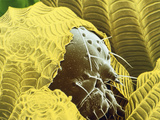 2nd of the F-col SEM's of Caterpillars Hatching Photographic Print by Dr. Jeremy Burgess