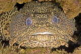Leopard Toadfish Photographic Print by Clay Coleman