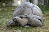 Aldabra Giant Tortoise Prints by Tony Camacho