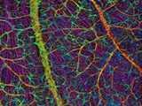 Retina Blood Vessels And Nerve Cells Print by Thomas Deerinck