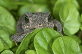 Gulf Coast Toad Amongst Leaves Photographic Print by Clay Coleman
