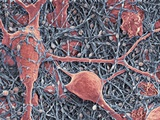 Nerve Cells And Glial Cells, SEM Photographic Print by Thomas Deerinck