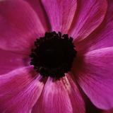 Anemone Flower (Anemone Sp.) Photographic Print by  Cristina