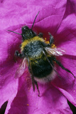 Bee on a Cistus Flower Photographic Print by Dr. Jeremy Burgess