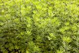 Mugwort (Artemisia Vulgaris) Prints by Colin Cuthbert