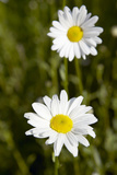 Ox-eye Daisy (Leucanthemum Vulgare) Posters by Colin Cuthbert