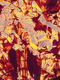 Vitamin C Crystals, PLM Fotografisk tryk af Thomas Deerinck