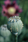 Collecting Opium From Poppy Seed Capsule Photographic Print by  Dr. Jeremy