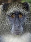 Samango Monkey Photographic Print by Tony Camacho