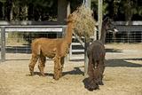 Alpacas Fotografisk tryk af Tony Camacho