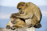 Barbary Macaques Posters by Tony Camacho