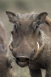 Desert Warthog Fotografie-Druck von Peter Chadwick