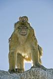 Barbary Macaques Prints by Tony Camacho