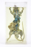 Dissected Rat Photographic Print by Gregory Davies