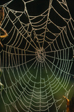 Photo of a Web of Araneus Diadematus Posters by Dr. Jeremy Burgess