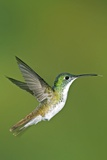 Andean Emerald Hummingbird Photographic Print by Tony Camacho