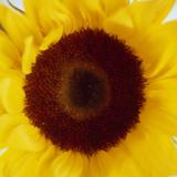 Sunflower (Helianthus Annuus) Photographic Print by  Cristina