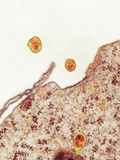 Hepatitis C Viruses, TEM Posters by Thomas Deerinck