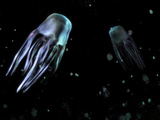 Box Jellyfish Photographic Print by Christian Darkin