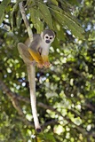 Squirrel Monkey Photographic Print by Tony Camacho