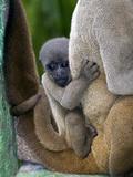 Gray Woolly Monkey Baby Photographic Print by Tony Camacho
